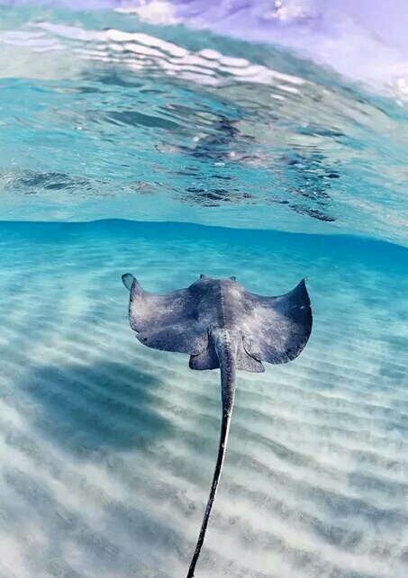 Source: https://weheartit.com/entry/221191962?context_page=21&context_query=stingray&context_type=search