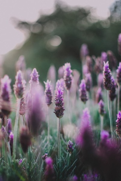 Source: https://weheartit.com/entry/328055571?context_page=4&context_query=lavender+flower&context_type=search