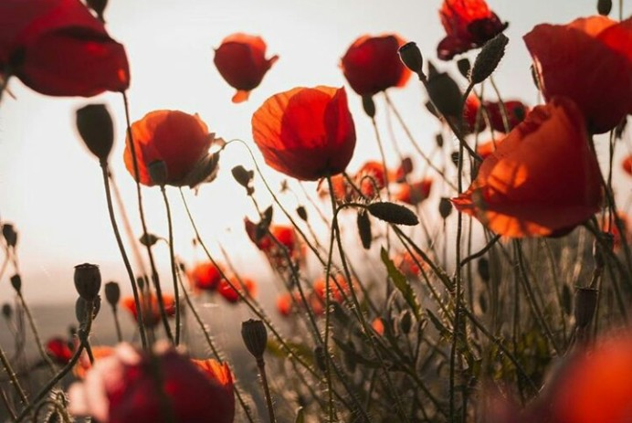 Source: https://weheartit.com/entry/322194745?context_page=6&context_query=poppy+flower&context_type=search